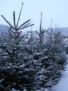 Christbäume im Schnee